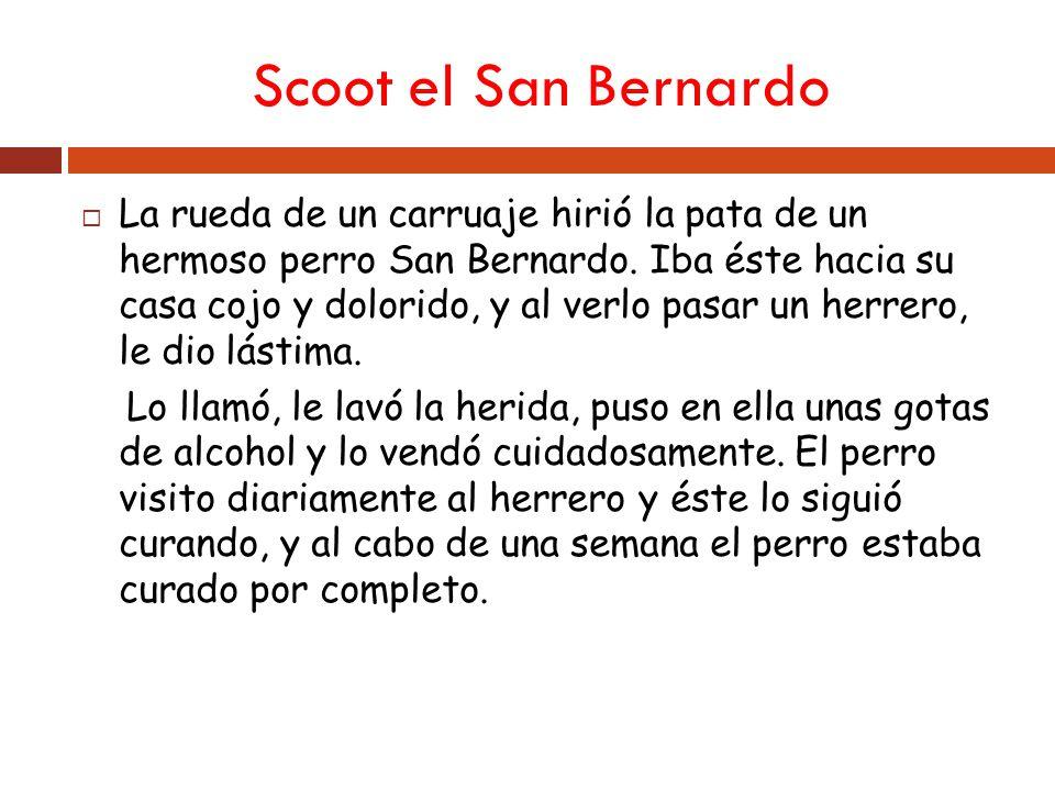 Scoot el San Bernardo La rueda de un carruaje hirió la pata de un hermoso perro San Bernardo.