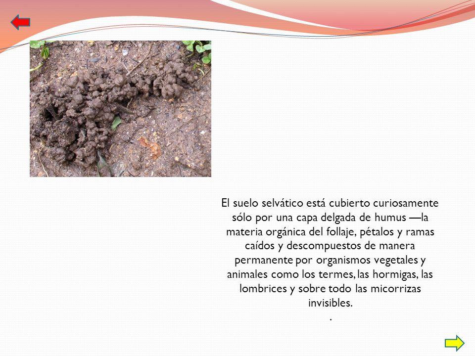 El suelo selvático está cubierto curiosamente sólo por una capa delgada de humus la materia orgánica del follaje, pétalos y ramas caídos y descompuest
