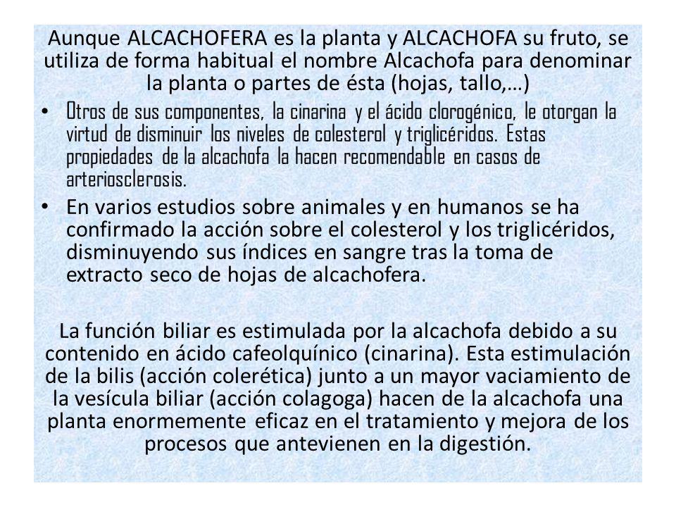 Aunque ALCACHOFERA es la planta y ALCACHOFA su fruto, se utiliza de forma habitual el nombre Alcachofa para denominar la planta o partes de ésta (hojas, tallo,…) Otros de sus componentes, la cinarina y el ácido clorogénico, le otorgan la virtud de disminuir los niveles de colesterol y triglicéridos.