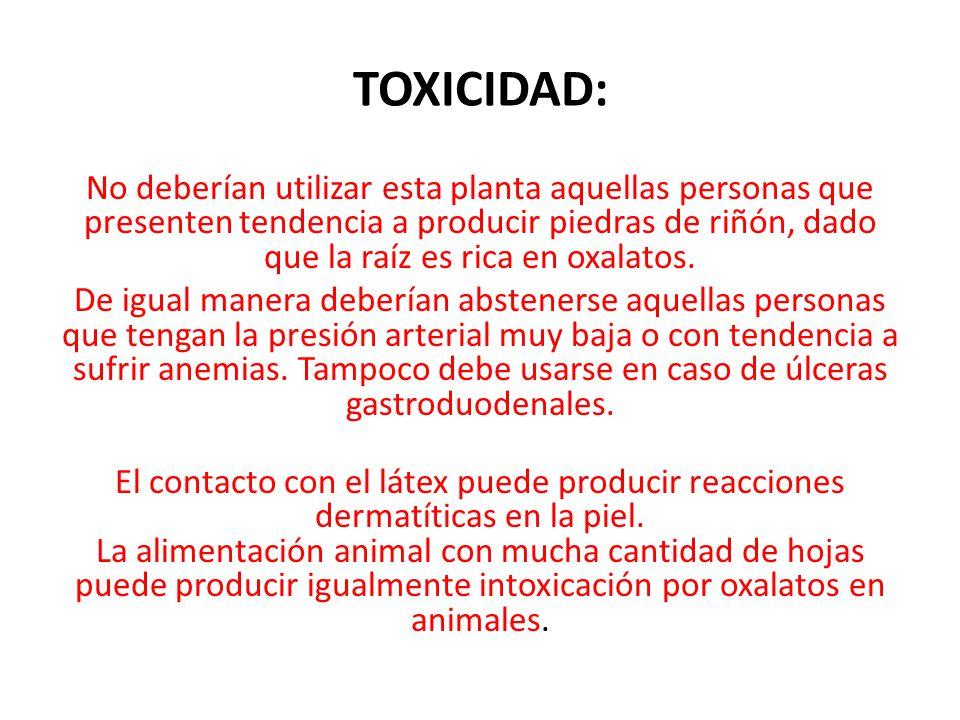TOXICIDAD: No deberían utilizar esta planta aquellas personas que presenten tendencia a producir piedras de riñón, dado que la raíz es rica en oxalato