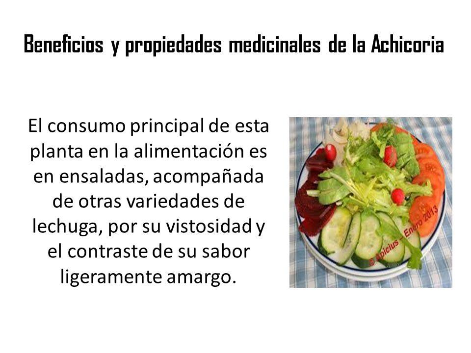 Beneficios y propiedades medicinales de la Achicoria El consumo principal de esta planta en la alimentación es en ensaladas, acompañada de otras varie