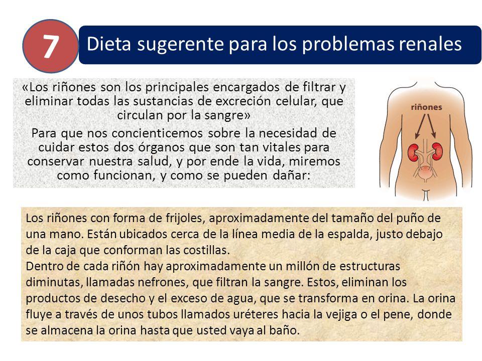 Dieta sugerente para los problemas renales «Los riñones son los principales encargados de filtrar y eliminar todas las sustancias de excreción celular