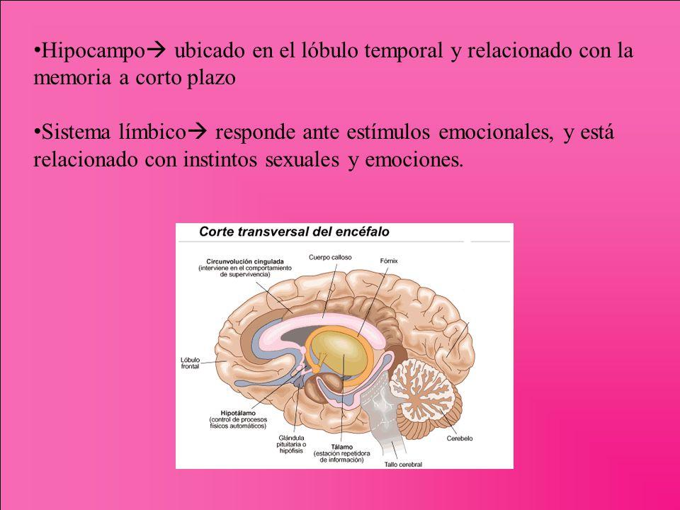 Hipocampo ubicado en el lóbulo temporal y relacionado con la memoria a corto plazo Sistema límbico responde ante estímulos emocionales, y está relacio