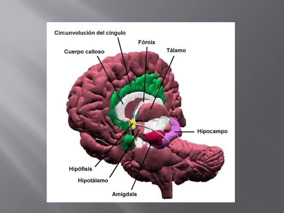 -> La corteza prefrontal orbitaria si se lesiona puede llevar al individuo a transgredir los valores éticos de una sociedad.
