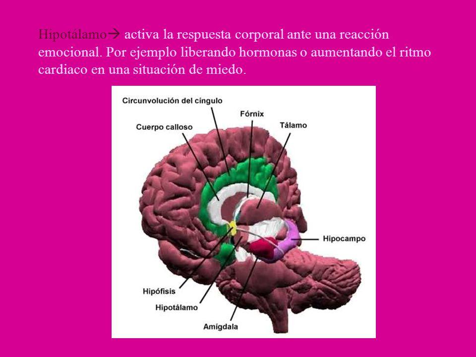 Hipotálamo activa la respuesta corporal ante una reacción emocional. Por ejemplo liberando hormonas o aumentando el ritmo cardiaco en una situación de