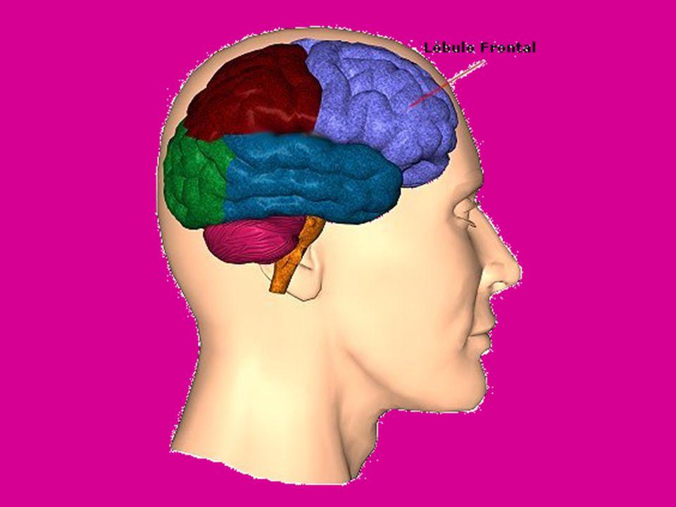 El Limbo de las Emociones El sistema emocional tiene numerosas áreas, núcleos, etc., pero las mas destacadas son la amígdala, la corteza prefrontal, la corteza cingulada y el hipotálamo.