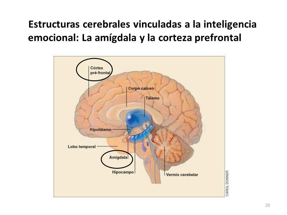 Estructuras cerebrales vinculadas a la inteligencia emocional: La amígdala y la corteza prefrontal 29