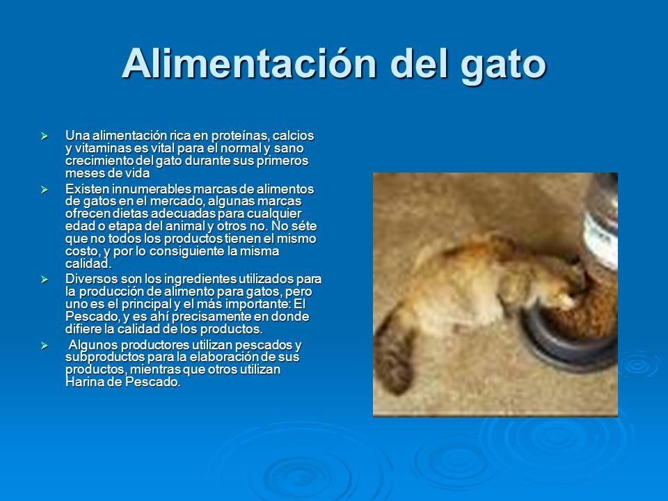 Alimentación del gato Una alimentación rica en proteínas, calcios y vitaminas es vital para el normal y sano crecimiento del gato durante sus primeros