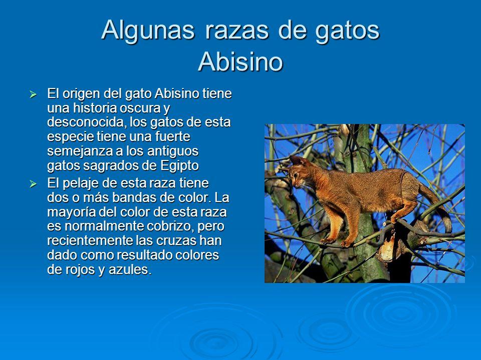 Algunas razas de gatos Abisino El origen del gato Abisino tiene una historia oscura y desconocida, los gatos de esta especie tiene una fuerte semejanz
