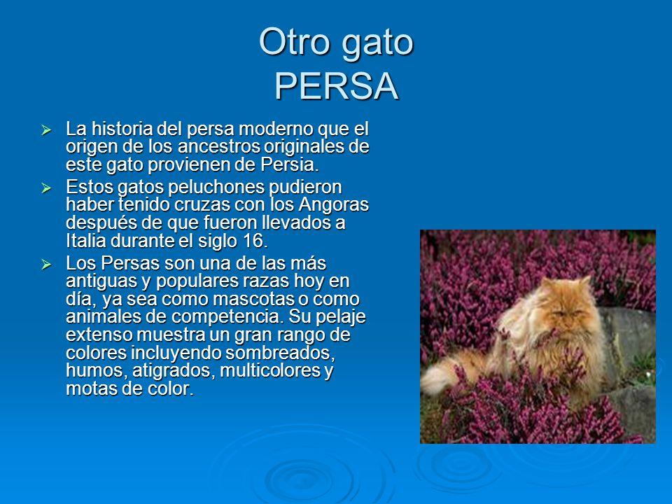 Otro gato PERSA La historia del persa moderno que el origen de los ancestros originales de este gato provienen de Persia. Estos gatos peluchones pudie
