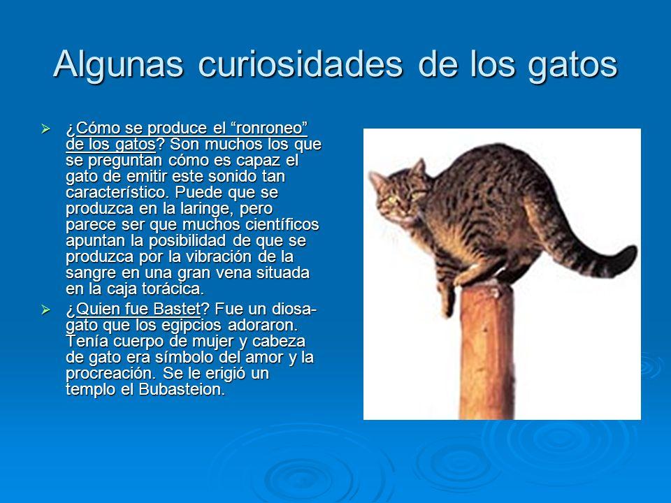 Algunas curiosidades de los gatos ¿Cómo se produce el ronroneo de los gatos? Son muchos los que se preguntan cómo es capaz el gato de emitir este soni