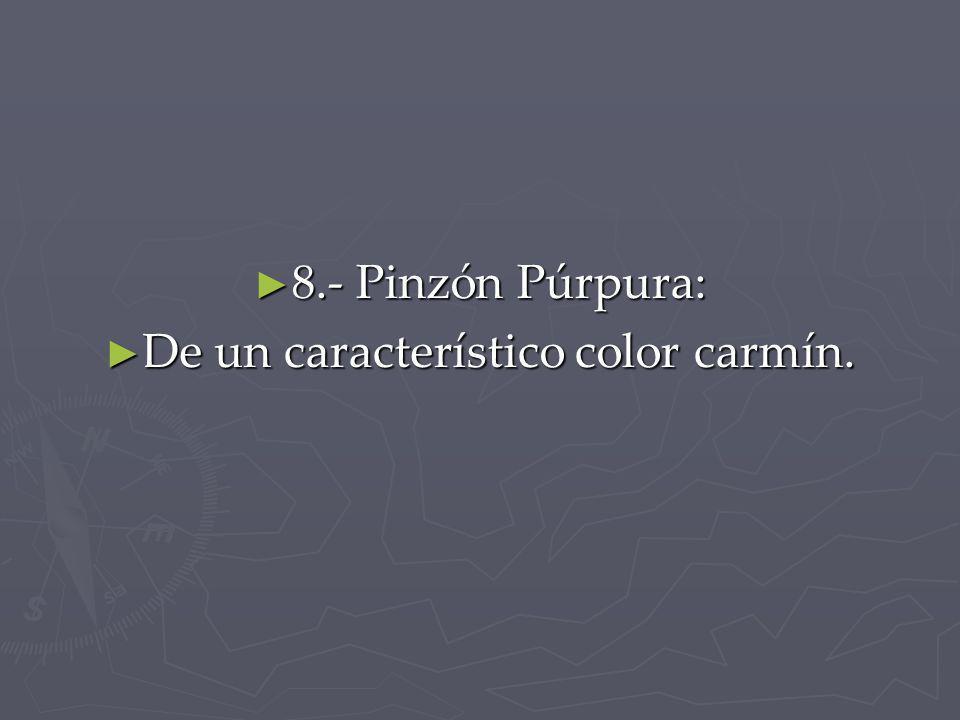 8.- Pinzón Púrpura: 8.- Pinzón Púrpura: De un característico color carmín. De un característico color carmín.