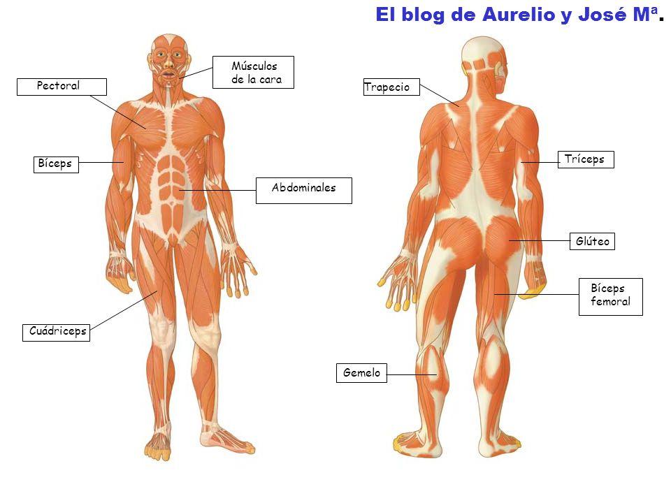 Pectoral Bíceps Cuádriceps Músculos de la cara Abdominales Trapecio Tríceps Glúteo Gemelo El blog de Aurelio y José Mª.