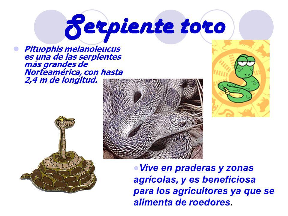 Serpiente toro Pituophis melanoleucus es una de las serpientes más grandes de Norteamérica, con hasta 2,4 m de longitud. Vive en praderas y zonas agrí
