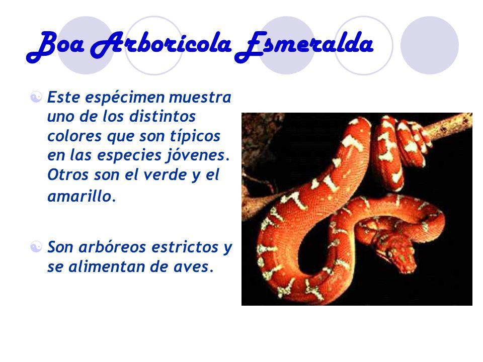Boa Arborícola Esmeralda Este espécimen muestra uno de los distintos colores que son típicos en las especies jóvenes.