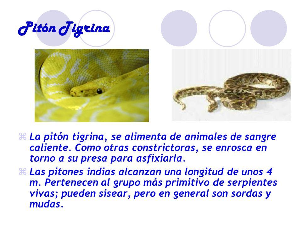 Pitón Tigrina La pitón tigrina, se alimenta de animales de sangre caliente.