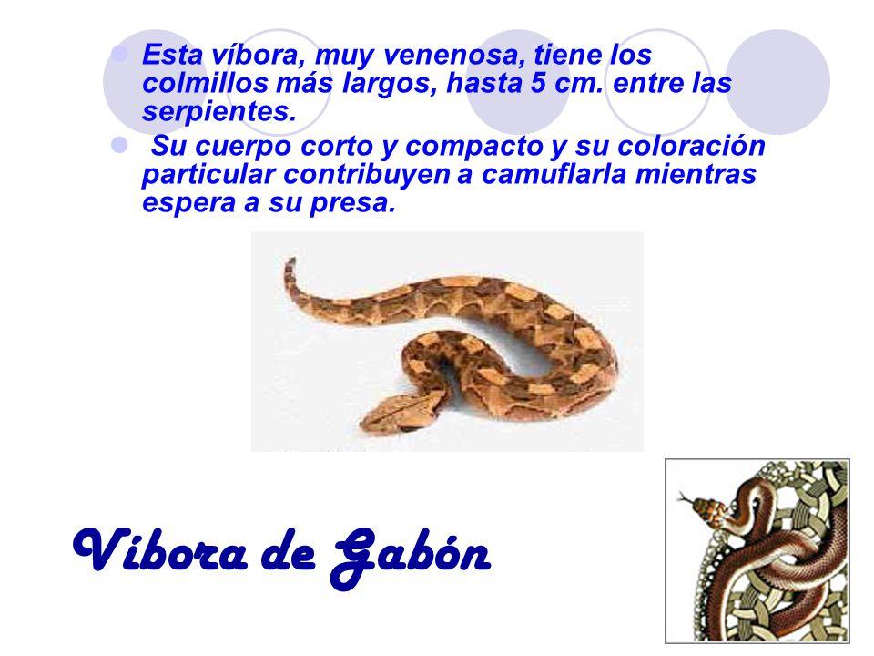 Víbora de Gabón Esta víbora, muy venenosa, tiene los colmillos más largos, hasta 5 cm. entre las serpientes. Su cuerpo corto y compacto y su coloració
