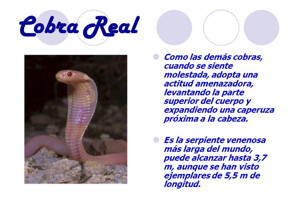 Cobra Real Como las demás cobras, cuando se siente molestada, adopta una actitud amenazadora, levantando la parte superior del cuerpo y expandiendo una caperuza próxima a la cabeza.