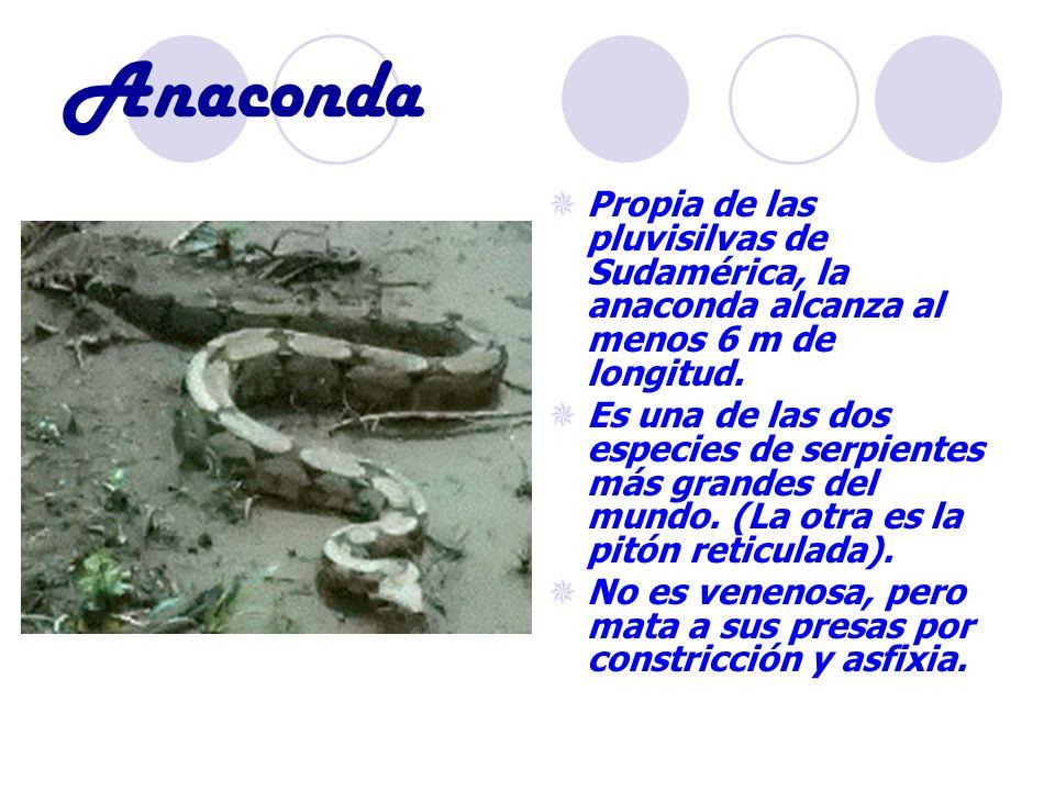 Anaconda Propia de las pluvisilvas de Sudamérica, la anaconda alcanza al menos 6 m de longitud. Es una de las dos especies de serpientes más grandes d