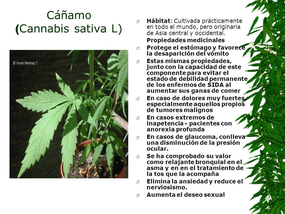 Cáñamo ( Cannabis sativa L) Hábitat: Cultivada prácticamente en todo el mundo, pero originaria de Asia central y occidental. Propiedades medicinales P