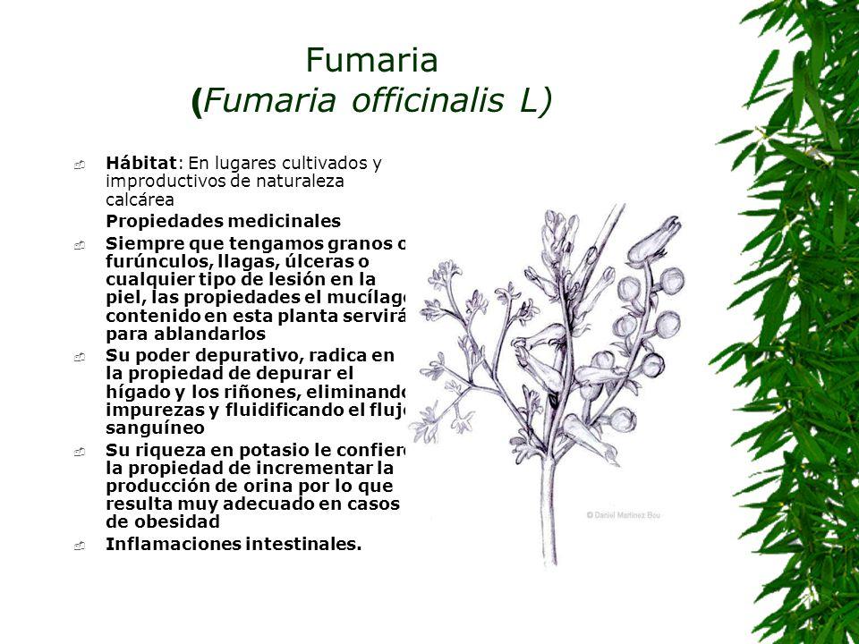 Fumaria ( Fumaria officinalis L) Hábitat: En lugares cultivados y improductivos de naturaleza calcárea Propiedades medicinales Siempre que tengamos gr
