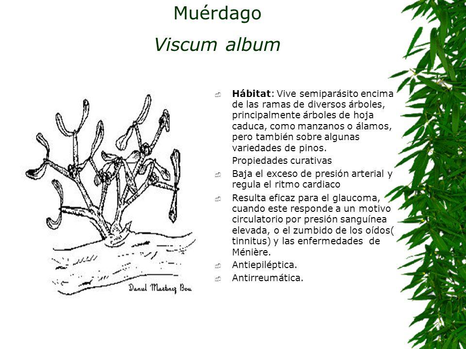 Muérdago Viscum album Hábitat: Vive semiparásito encima de las ramas de diversos árboles, principalmente árboles de hoja caduca, como manzanos o álamo
