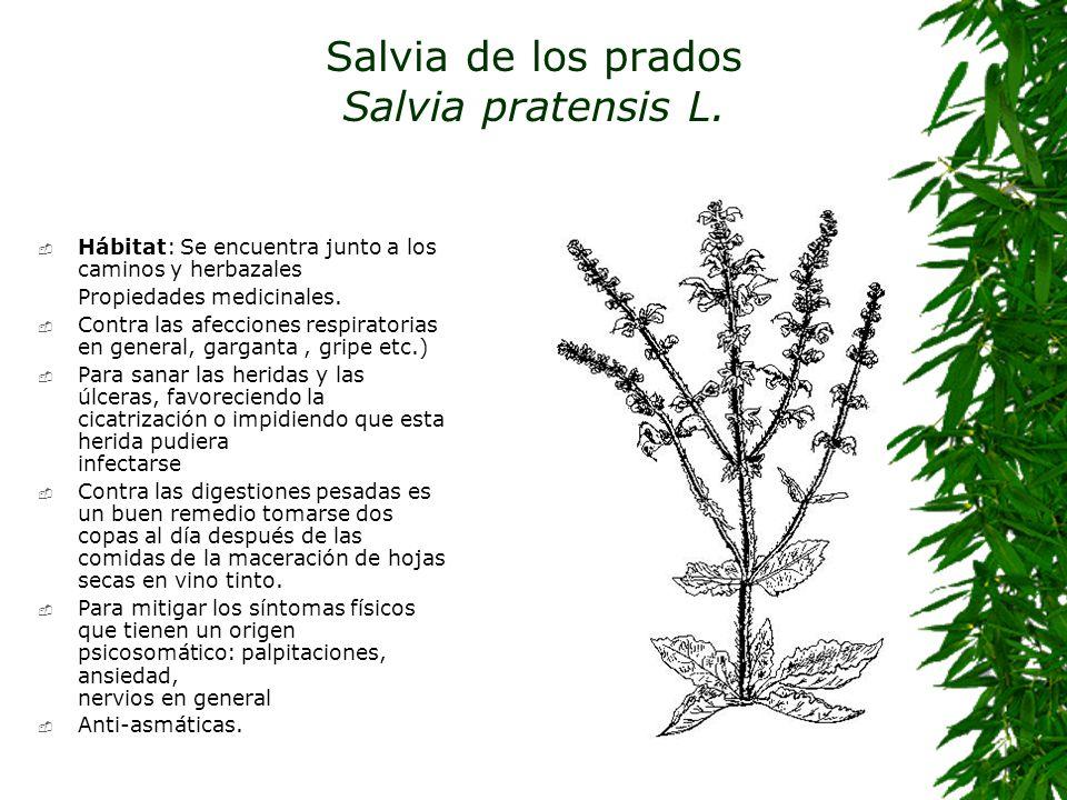 Salvia de los prados Salvia pratensis L. Hábitat: Se encuentra junto a los caminos y herbazales Propiedades medicinales. Contra las afecciones respira