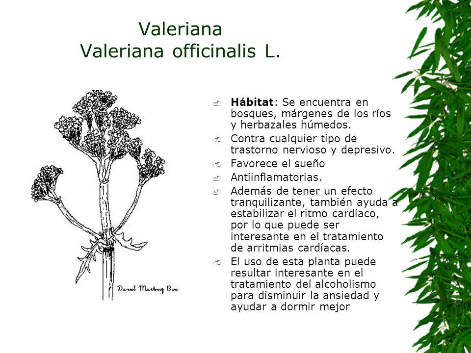 Valeriana Valeriana officinalis L. Hábitat: Se encuentra en bosques, márgenes de los ríos y herbazales húmedos. Contra cualquier tipo de trastorno ner