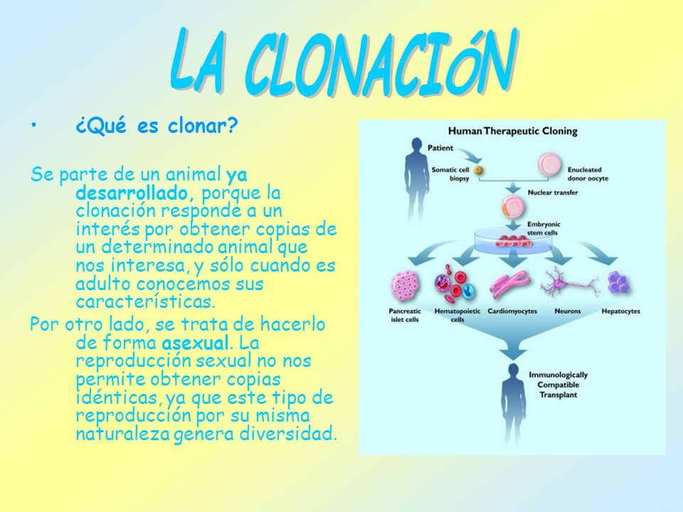 ¿Qué es clonar? Se parte de un animal ya desarrollado, porque la clonación responde a un interés por obtener copias de un determinado animal que nos i