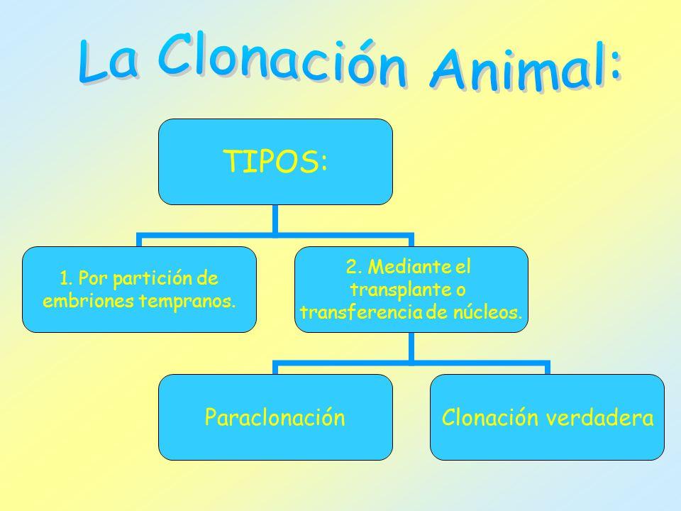 TIPOS: 1. Por partición de embriones tempranos. 2. Mediante el transplante o transferencia de núcleos. ParaclonaciónClonación verdadera