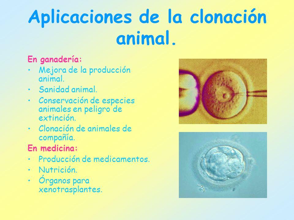 Aplicaciones de la clonación animal. En ganadería: Mejora de la producción animal. Sanidad animal. Conservación de especies animales en peligro de ext