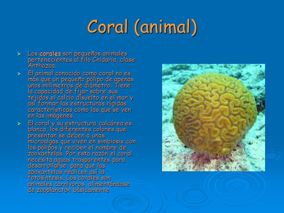 Coral (animal) Los corales son pequeños animales pertenecientes al filo Cnidaria, clase Anthozoa. Los corales son pequeños animales pertenecientes al
