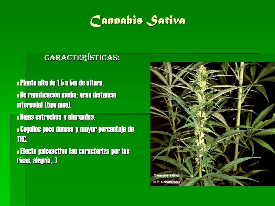 Cannbis Indica Características: o Planta baja de 1,5 a 2m de altura.