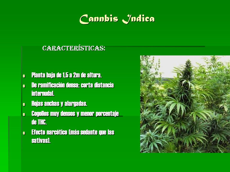 Cannbis Indica Características: o Planta baja de 1,5 a 2m de altura. o De ramificación densa: corta distancia internudal. o Hojas anchas y alargadas.