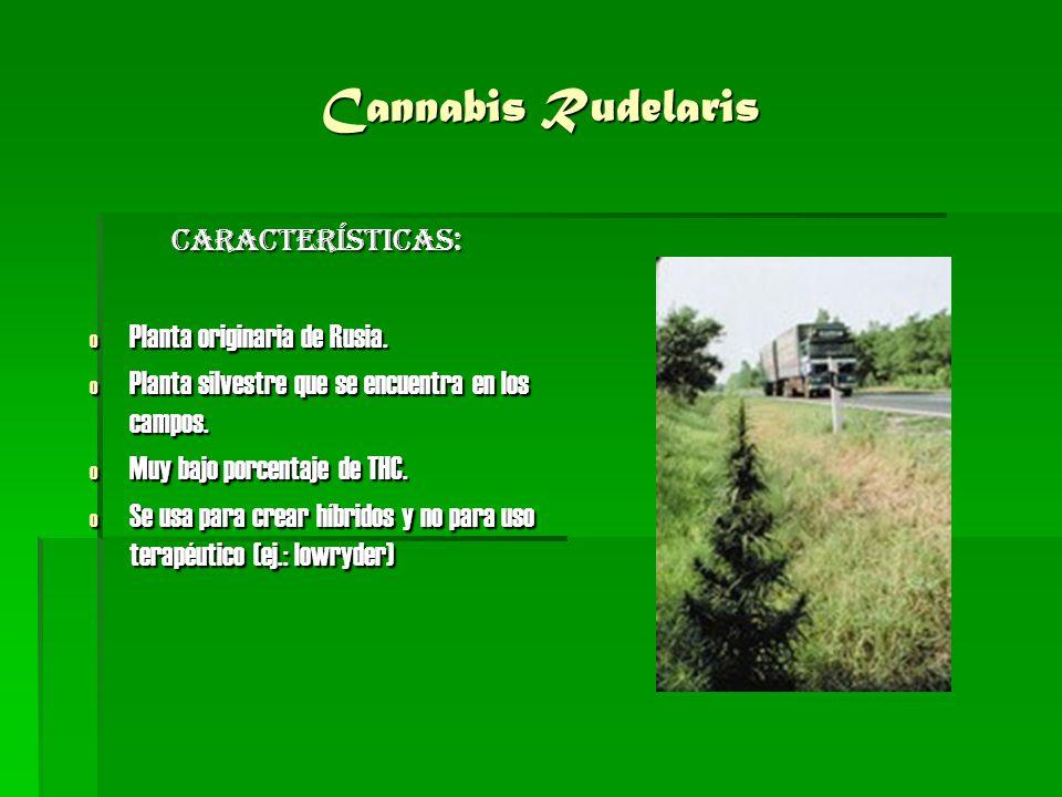 Cannabis Rudelaris CARACTERÍSTICAS: o Planta originaria de Rusia. o Planta silvestre que se encuentra en los campos. o Muy bajo porcentaje de THC. o S