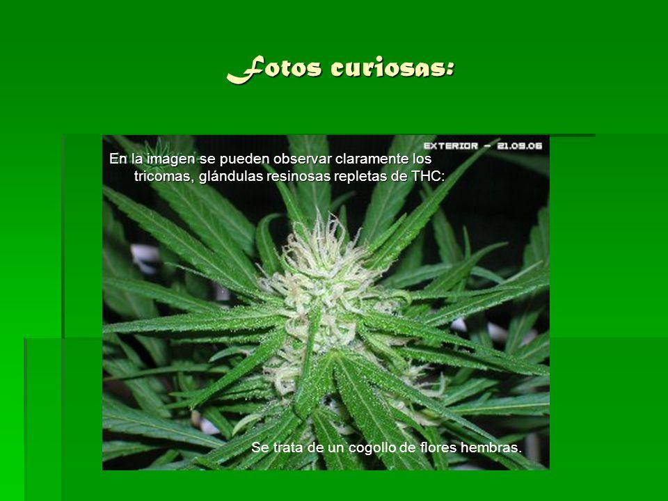 Fotos curiosas: En la imagen se pueden observar claramente los tricomas, glándulas resinosas repletas de THC: Se trata de un cogollo de flores hembras
