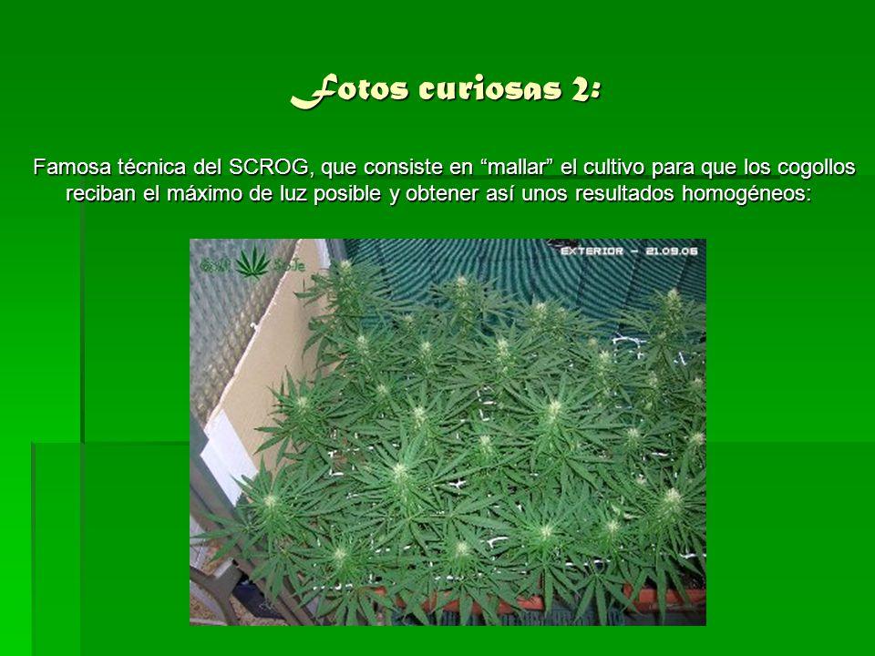 Bibliografía: www.lamarihuana.com www.lamarihuana.com http://es.wikipedia.org http://es.wikipedia.org http://www.pharmakobotanik.de/schfld/Cannabis.jpg http://www.pharmakobotanik.de/schfld/Cannabis.jpg http://www.profumoterapia.it/images/cannabis/canapa_2.jpg http://www.profumoterapia.it/images/cannabis/canapa_2.jpg Sabiduría de Héctor dañino ;) Sabiduría de Héctor dañino ;) Realizado por Diego Álvarez Cernuda Curso: 2ºD, Número: 4