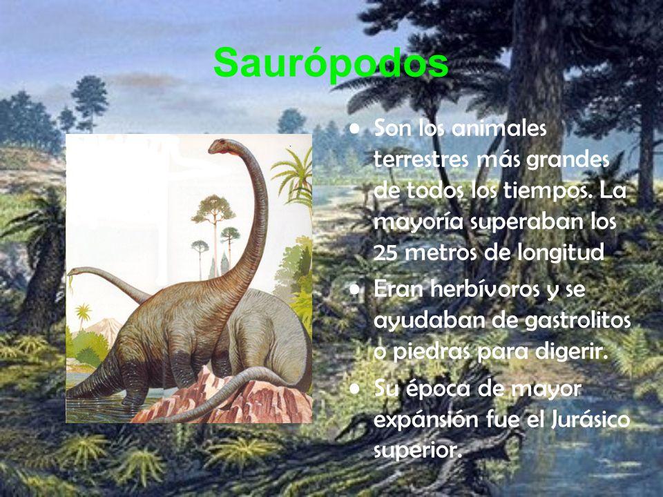 Saurópodos Son los animales terrestres más grandes de todos los tiempos. La mayoría superaban los 25 metros de longitud Eran herbívoros y se ayudaban