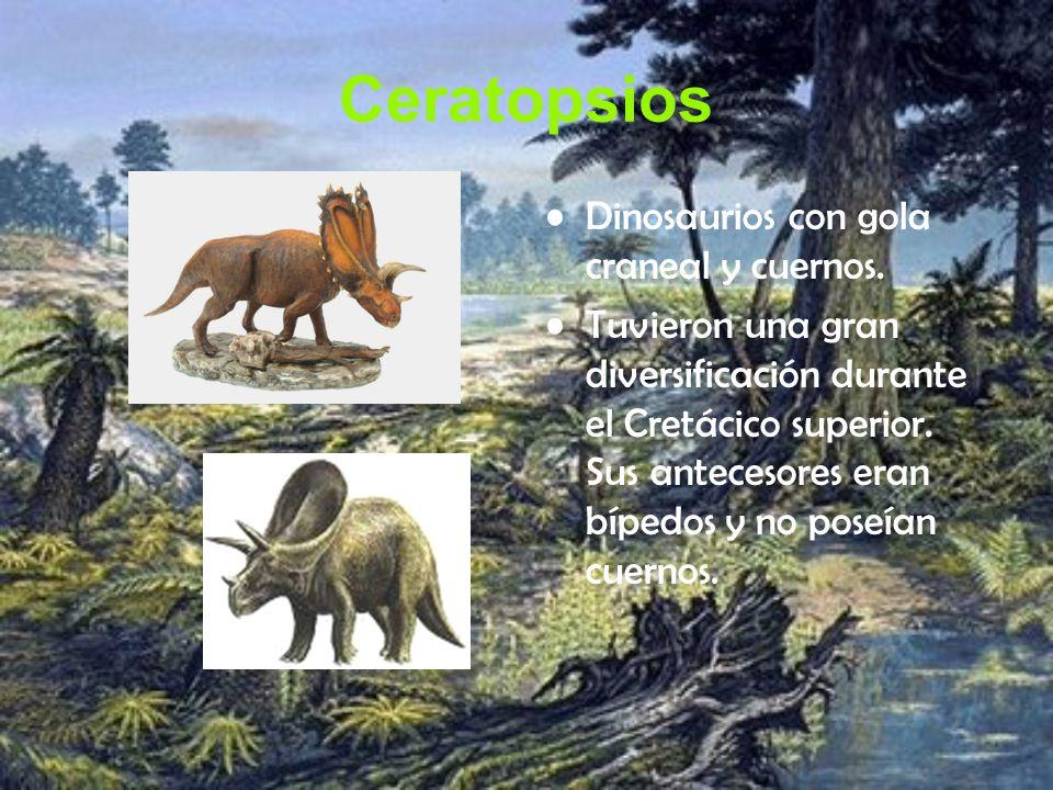 Ceratopsios Dinosaurios con gola craneal y cuernos. Tuvieron una gran diversificación durante el Cretácico superior. Sus antecesores eran bípedos y no