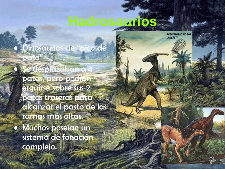 Hadrosaurios Dinosaurios de pico de pato Se desplazaban a 4 patas, pero podían erguirse sobre sus 2 patas traseras para alcanzar el pasto de las ramas