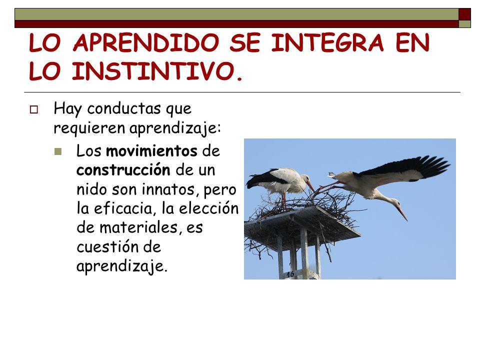 LO APRENDIDO SE INTEGRA EN LO INSTINTIVO. Hay conductas que requieren aprendizaje: Los movimientos de construcción de un nido son innatos, pero la efi