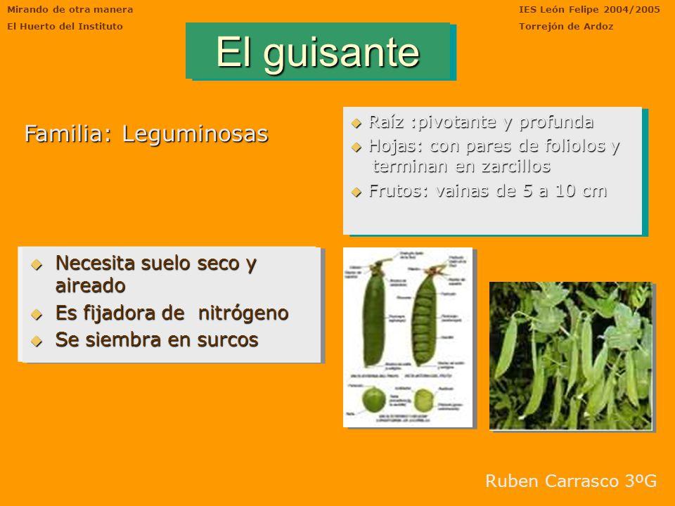 Mirando de otra manera El Huerto del Instituto IES León Felipe 2004/2005 Torrejón de Ardoz ESPINACAS Fueron cultivadas por vez primera en China. Const
