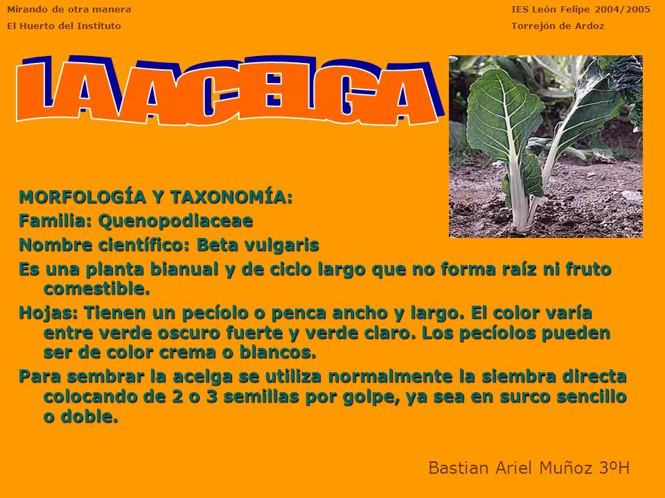 EL RABANO Nombre comun: Rábano.Nombre cientifico: Apium Graveolens.