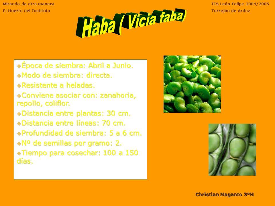 Características Bulbo del que parten tanto las hojas fotosintéticas como la inflorescencia. Las hojas que salen del tallo principal no son carnosas, s