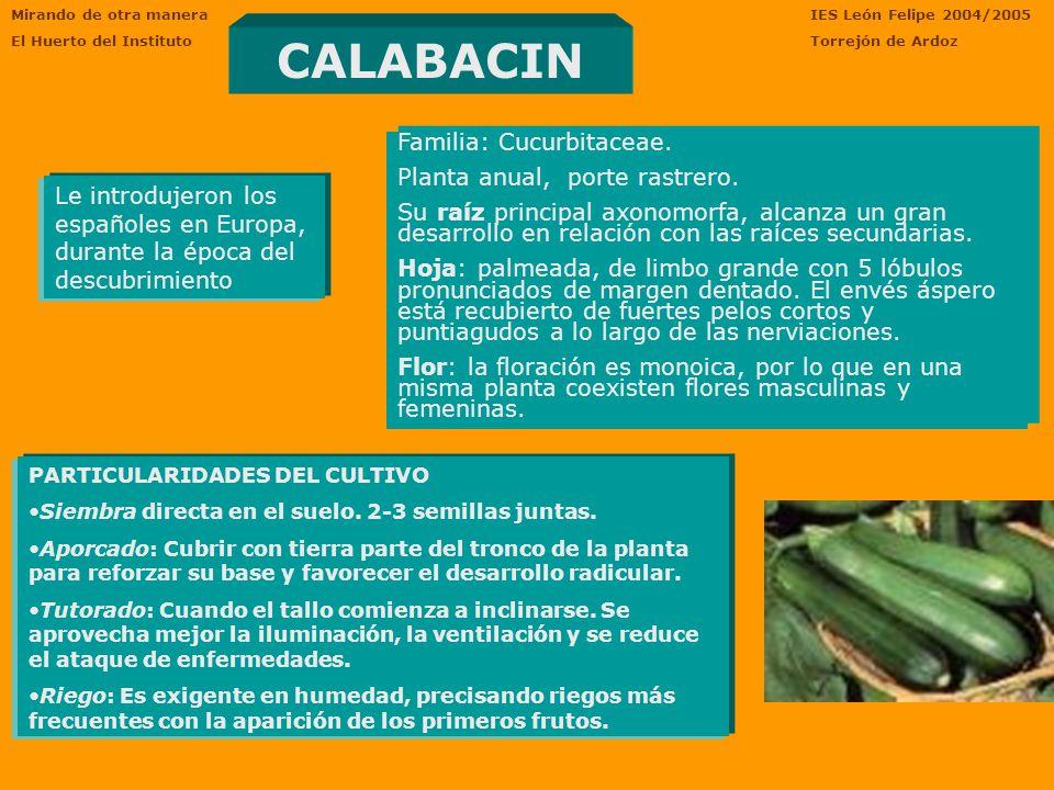 Mirando de otra manera El Huerto del Instituto IES León Felipe 2004/2005 Torrejón de Ardoz CALABACIN Le introdujeron los españoles en Europa, durante la época del descubrimiento Familia: Cucurbitaceae.