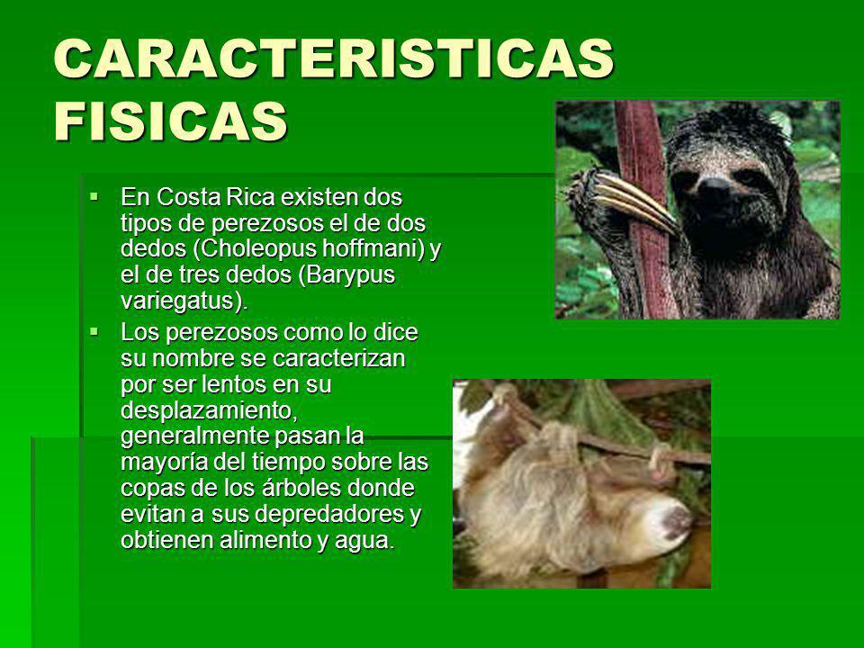 CARACTERISTICAS FISICAS En Costa Rica existen dos tipos de perezosos el de dos dedos (Choleopus hoffmani) y el de tres dedos (Barypus variegatus). Los