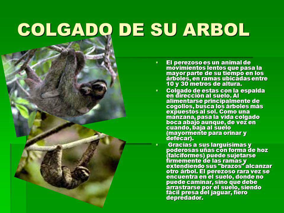 COLGADO DE SU ARBOL El perezoso es un animal de movimientos lentos que pasa la mayor parte de su tiempo en los árboles, en ramas ubicadas entre 10 y 30 metros de altura.