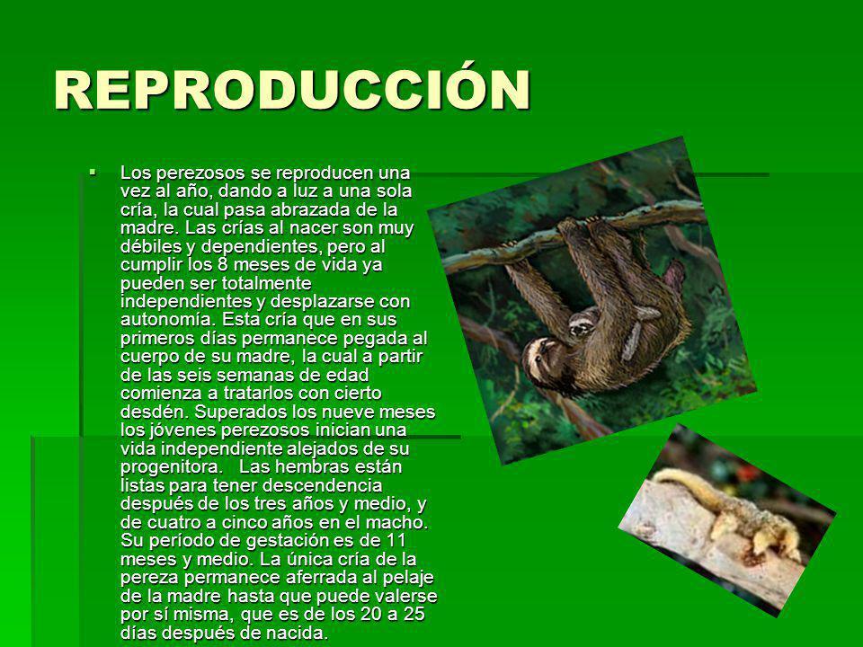 REPRODUCCIÓN Los perezosos se reproducen una vez al año, dando a luz a una sola cría, la cual pasa abrazada de la madre. Las crías al nacer son muy dé
