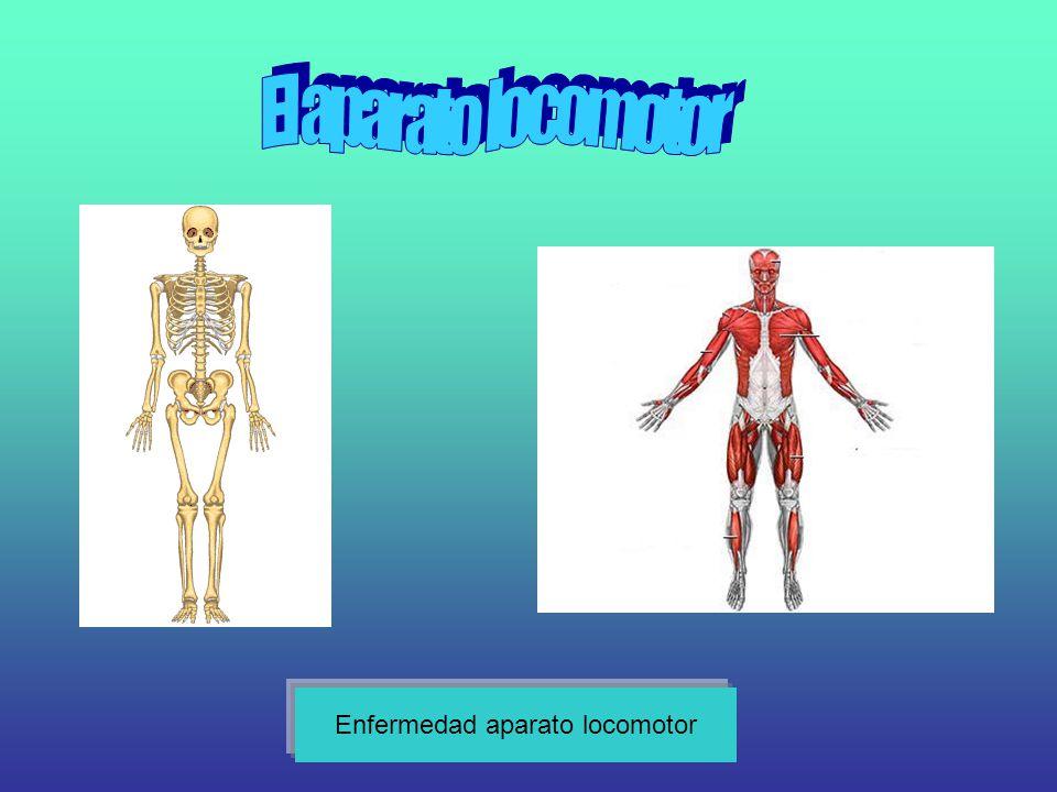 El esqueleto El esqueleto humano es el conjunto total y organizado de piezas óseas que proporciona al cuerpo humano una firme estructura multifuncional.