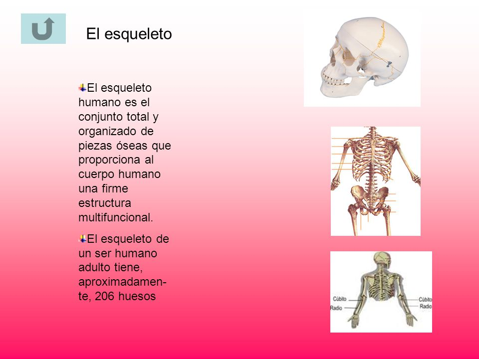 El esqueleto El esqueleto humano es el conjunto total y organizado de piezas óseas que proporciona al cuerpo humano una firme estructura multifunciona